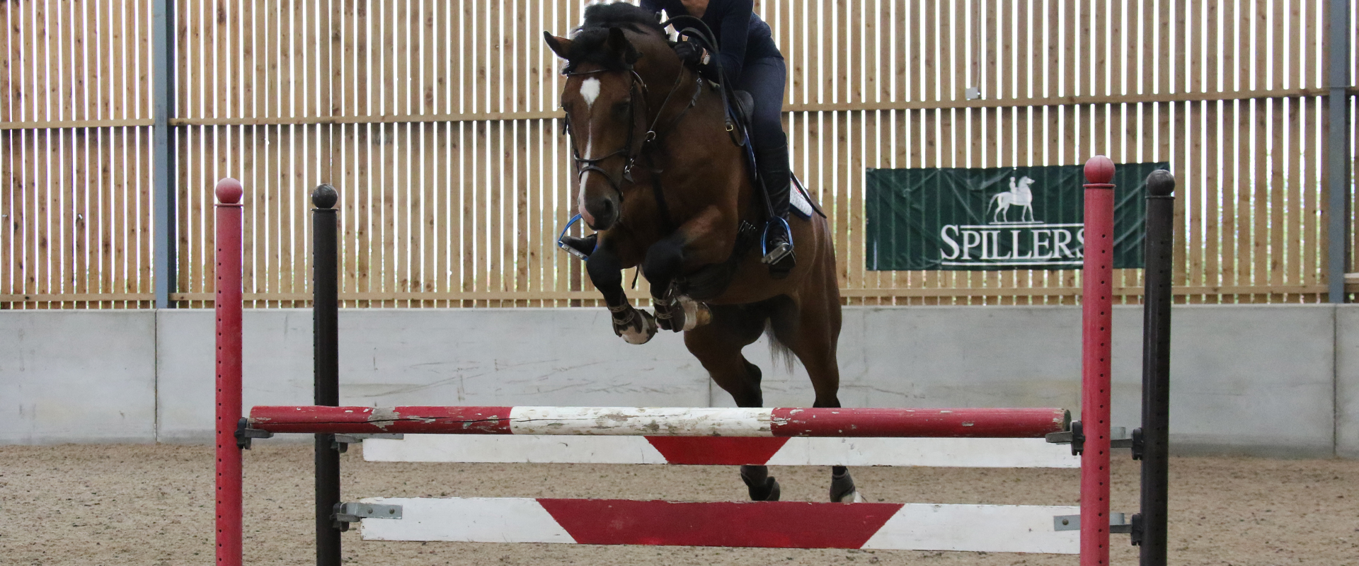Show Jumping Stallion For Sale